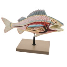 Model, Fish Dissection