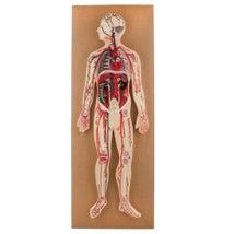 Model, Human Circulatory System