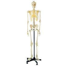 Model, Human Skeleton Mini