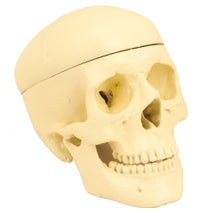 Model, Human Skull