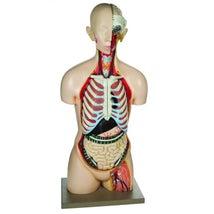 Model, Full Size Human Torso